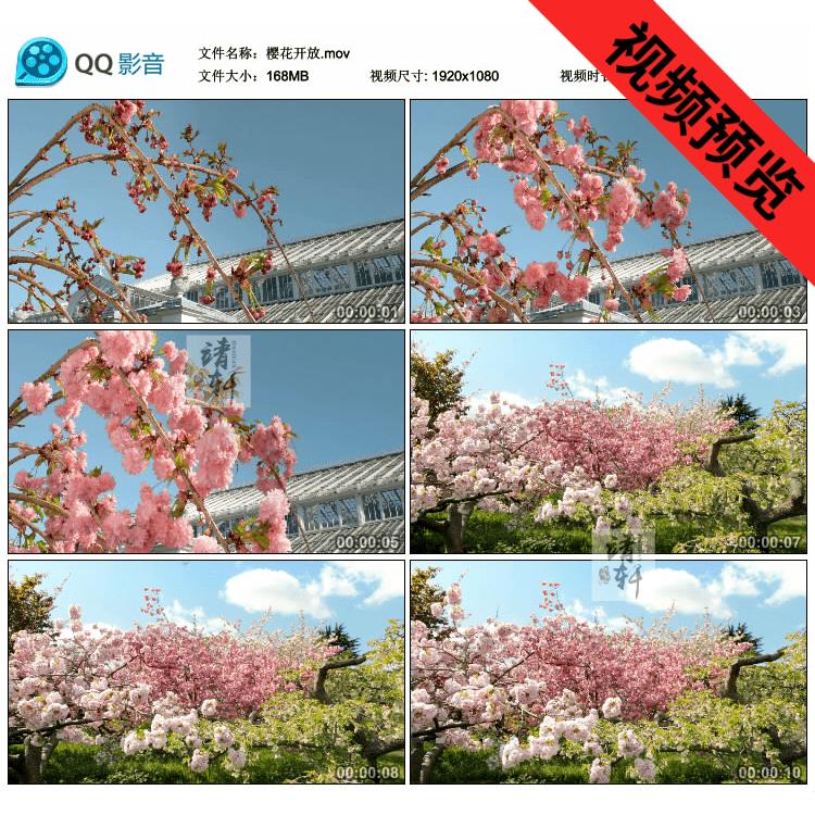 樱花快速开放樱花特写 桃花世外桃源宣传片高清实拍视频素材